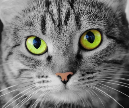 Image of cats portrait with yellow eyes