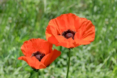 Image of two red poppys on green background