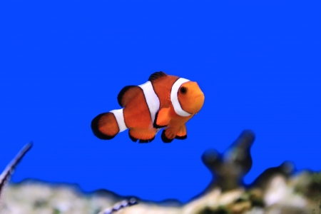 Image of clown fish in aquarium water Stock Photo - 24136246