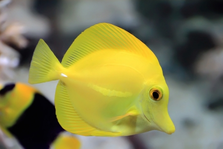 Image of zebrasoma yellow tang fish in aquarium Stock Photo