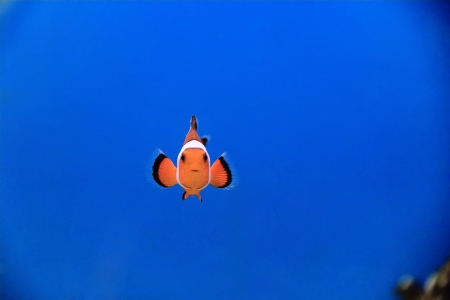 Image of clown fish in aquarium water Stock Photo
