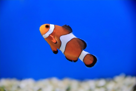 clown fish: Image of clown fish in aquarium water Stock Photo