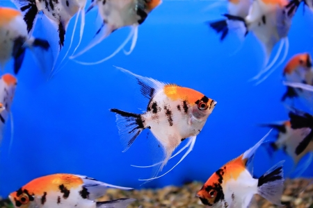 Image of aquarium fish in blue water photo