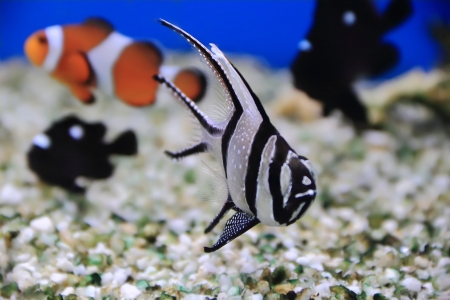 Image of aquarium fish in blue water Stock Photo