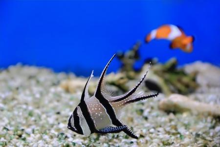 Image of aquarium fish in blue water photo