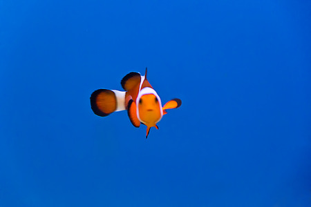 frontosa: clown fish in aquarium water