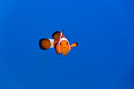 dendrochirus zebra: clown fish in aquarium water
