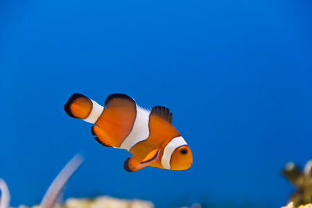frontosa: Image of clown fish in aquarium water Stock Photo