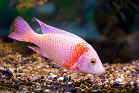 cyphotilapia: red aulonocara fish in aquarium
