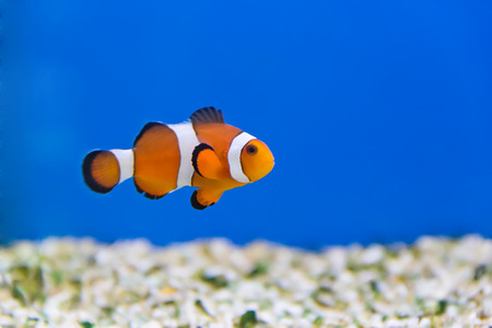 clown fish in aquarium water Stock Photo - 26448665
