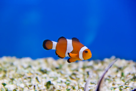 aulonocara: Image of clown fish in aquarium water Stock Photo