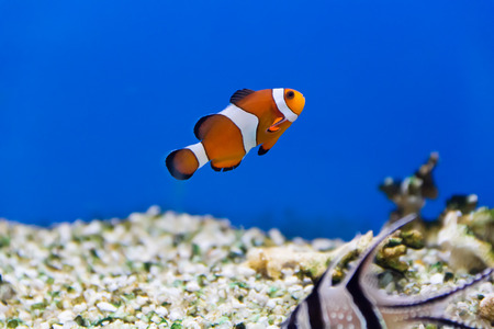 zebra lionfish: Image of clown fish in aquarium water Stock Photo