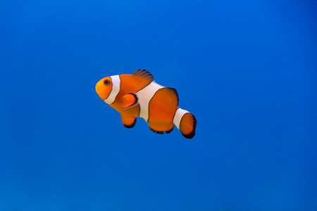 Image of clown fish in aquarium water Stock Photo - 26448517