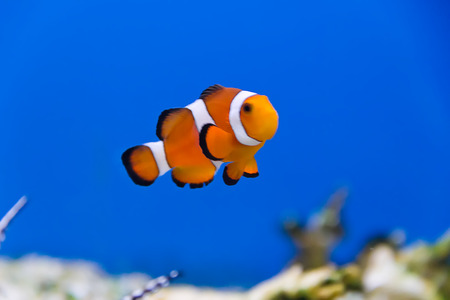 clown fish in aquarium water Stock Photo - 26448518