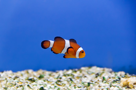 cyphotilapia: clown fish in aquarium water