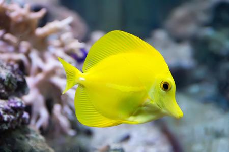 zebrasoma yellow tang fish in aquarium Stock Photo - 26448520
