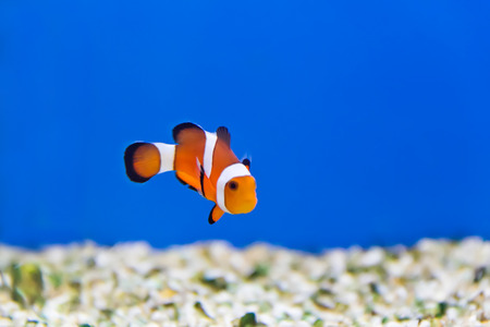 clown fish in aquarium water photo