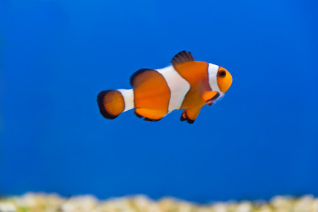 zebra lionfish: clown fish in aquarium water