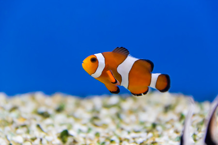 clown fish in aquarium water Stock Photo - 26448534