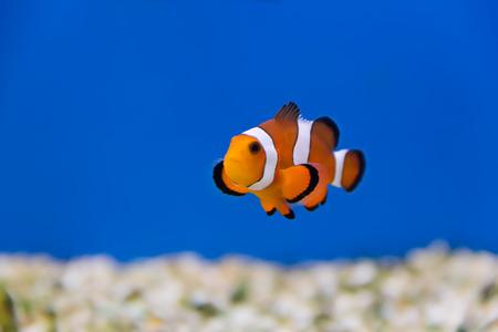 clown fish in aquarium water photo