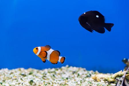 zebra lionfish: clown fish and dascyllus in aquarium water