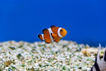 clown fish in aquarium water