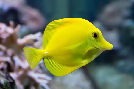 zebrasoma yellow tang fish in aquarium