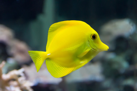 zebrasoma yellow tang fish in aquarium Stock Photo - 26448439