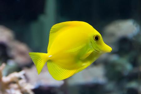 dendrochirus zebra: zebrasoma yellow tang fish in aquarium