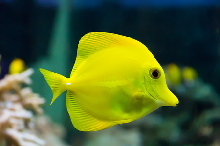 cyphotilapia: zebrasoma yellow tang fish in aquarium