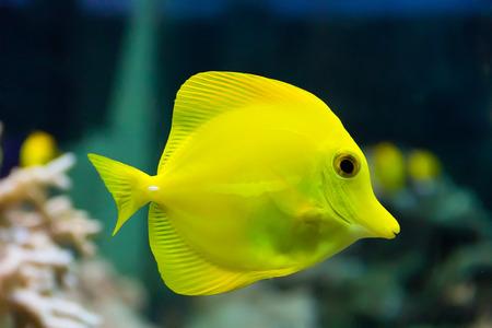 zebra lionfish: zebrasoma yellow tang fish in aquarium