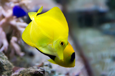 zebrasoma yellow tang fish in aquarium photo