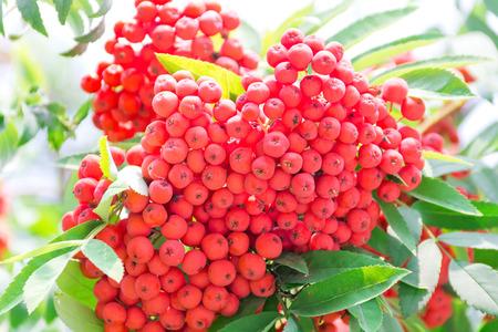 rowanberry: Photo of the red ripe rowanberry branch