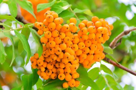 rowanberry: Photo of the yellow ripe rowanberry branch Stock Photo
