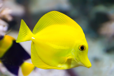 Image of zebrasoma yellow tang fish in aquarium photo
