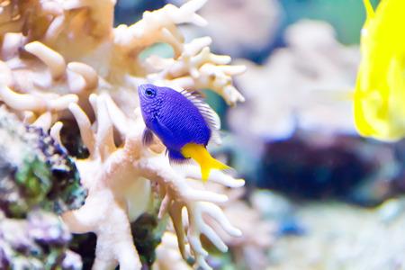 zebra lionfish: Photo of aquarium fish in blue water Stock Photo