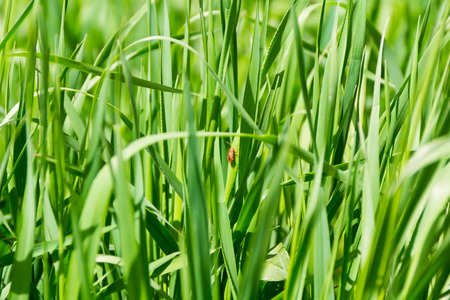 saturate: Summer picture of green saturate grass texture