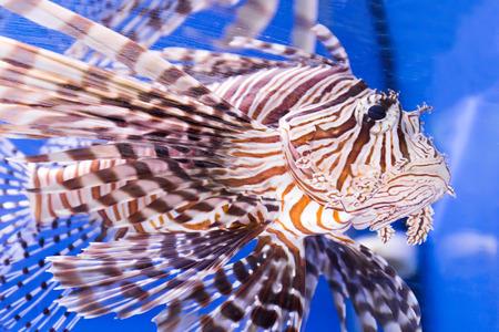 frontosa: Photo of aquarium fish in blue water Stock Photo