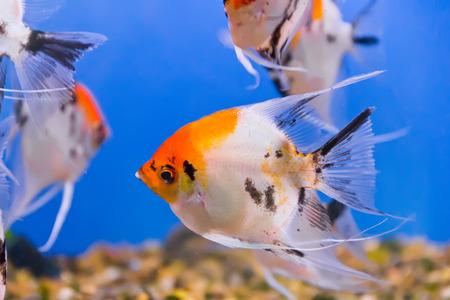 dendrochirus zebra: Photo of aquarium fish in blue water Stock Photo