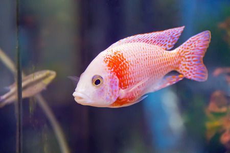 aulonocara: Photo of red aulonocara fish in aquarium