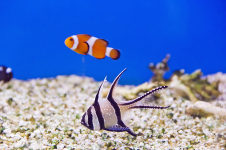 cyphotilapia: Photo of clown fish and dascyllus in aquarium water