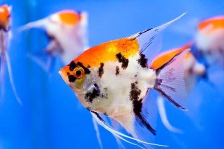 dendrochirus zebra: aquarium fish in blue water