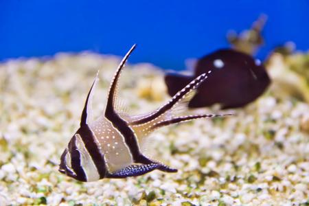 Photo of aquarium fish apogon in blue water photo
