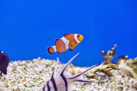 cichlidae: Photo of clown fish in aquarium water