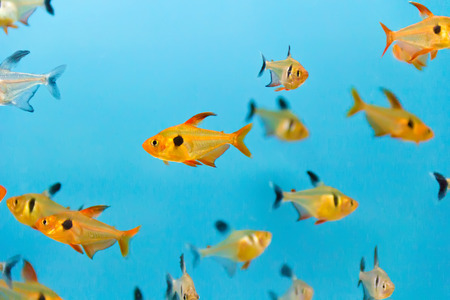 cyphotilapia: Photo of aquarium fish in blue water Stock Photo