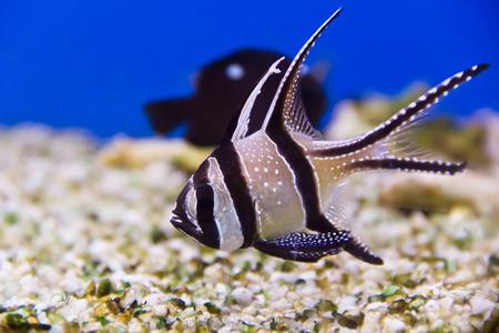 zebra lionfish: Photo of aquarium fish apogon in blue water