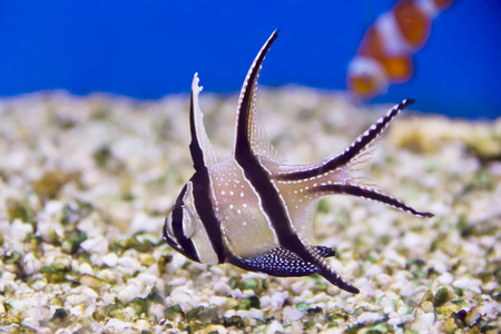 Photo of aquarium fish apogon in blue water