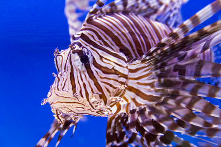 zebra lionfish: Photo of pterois volitans in blue water Stock Photo
