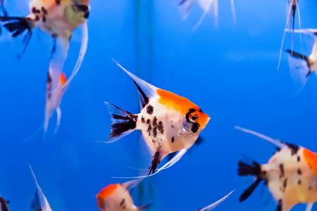 Photo of aquarium fish in blue water Stock Photo