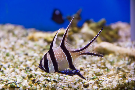 frontosa: Photo of aquarium fish apogon in blue water